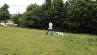 Sheep Chasing - Stop A Dog From Chasing Sheep