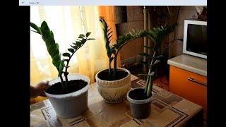 Пересадка замиокулькаса (долларовое дерево)