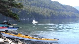 Orca Camp Vancouver Island - Orca rubbing beach