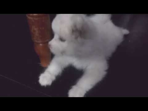 Lhasa Apso (dog)cute small Indian dog