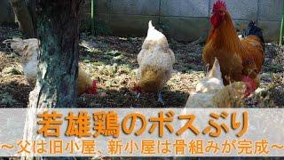 """2017年3月初旬のこと。 若い雄鶏""""夏""""が""""ぴよ助""""父さんに初勝利してから2..."""