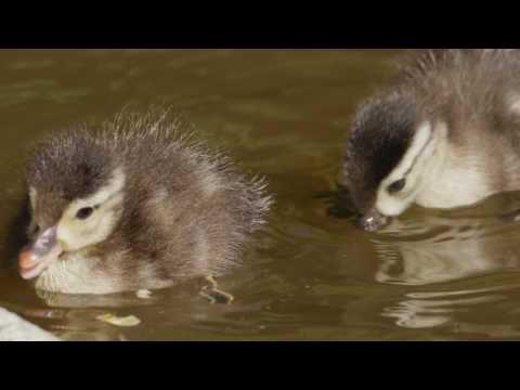 Ducklings and Their Mother in Sequoia Park