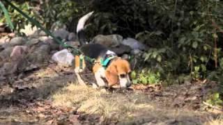 Beagle Field Trial - Easthampton Beagle Club, Ma