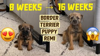 Puppy growing from 8 weeks to 16 weeks | Border Terrier Puppy