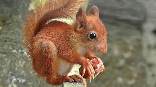 Red Squirrel at Paradise Park in Cornwall