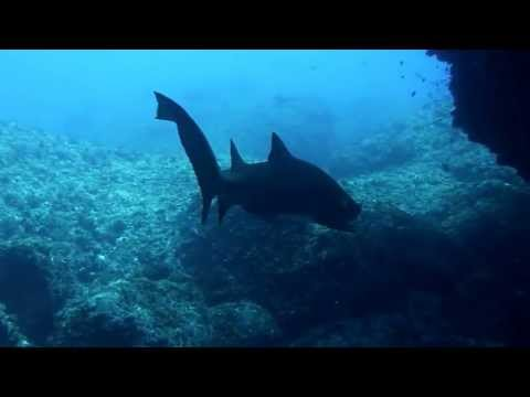 Dolphins coming to see divers with huge Sand tigar sharks. at Ogasawara, Tokyo