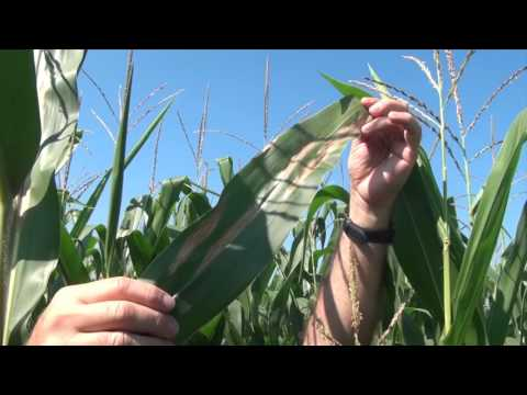 Corn School: Protecting the 'Factory' Best Defence Against Leaf Disease