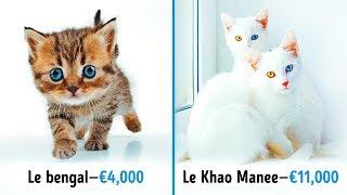 miaulements de chat