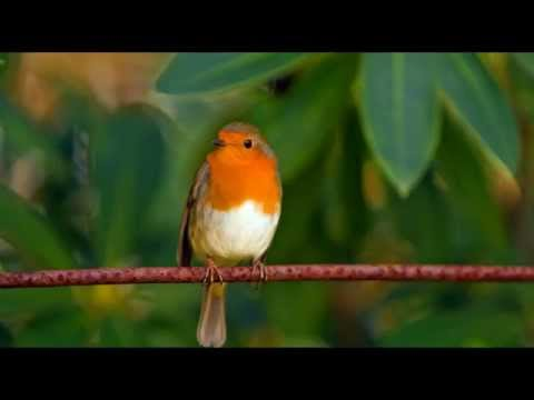 Robins Singing- 1 hour Nature Sounds Birdsong