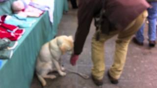 How To Train A Puppy - Puppy Training - Socialisation - Labrador Puppy  - Train A Labrador Puppy