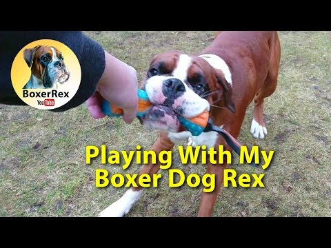 Playing With My Boxer Dog Rex 😁