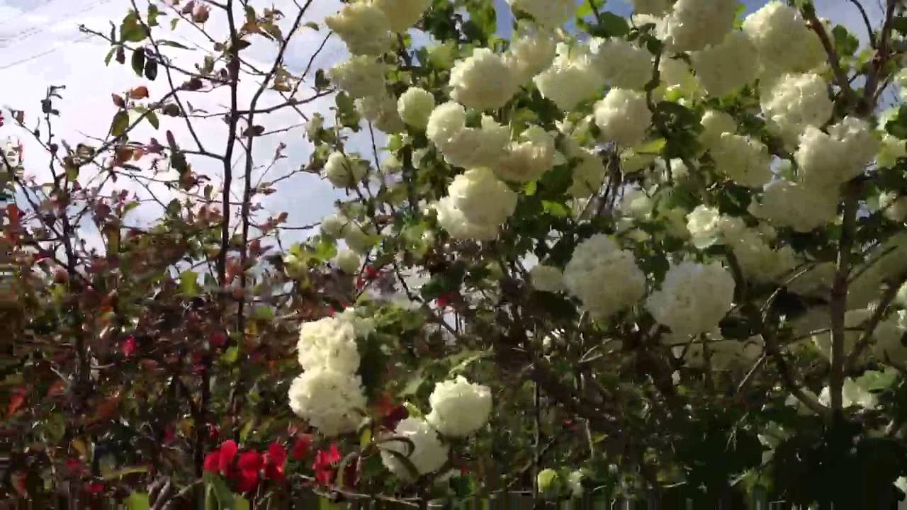 Come Potare A Palla pianta con fiori a forma di palla - youtube