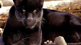 #1853. Пантеры (В мире животных)