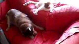 Cat Grooming Siberian Husky