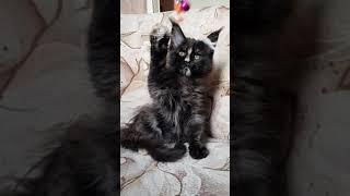 Yara MOS Lakshestar котенок мейн кун 3 месяца и 2 недели.