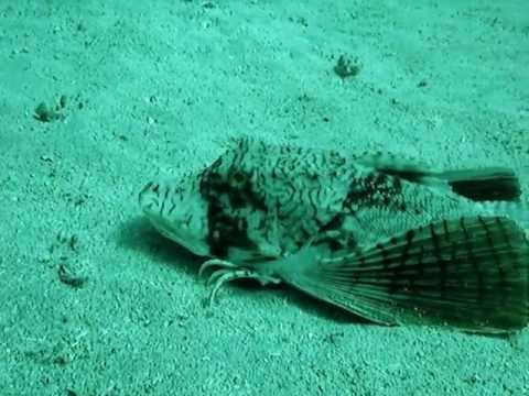 Walking fish with wings youtube for Wings fish