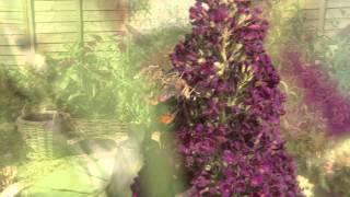 Buddleja Buzz Lavender Indigo and Magenta