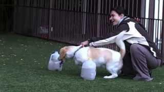 Braveheart Dog Training Canine Nose Work