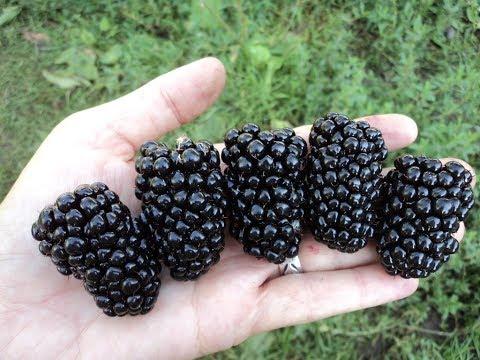 Выращивание ежевики / Как вырастить крупную садовую ежевику