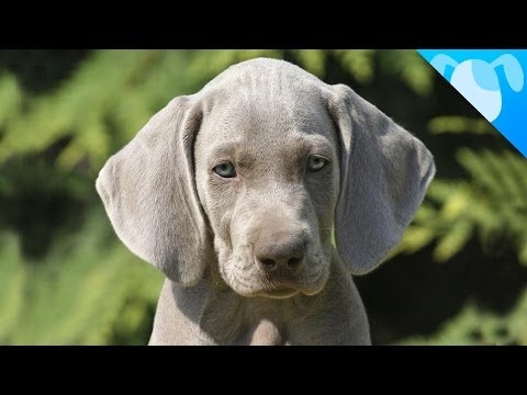 weimaraner facts youtube. Black Bedroom Furniture Sets. Home Design Ideas