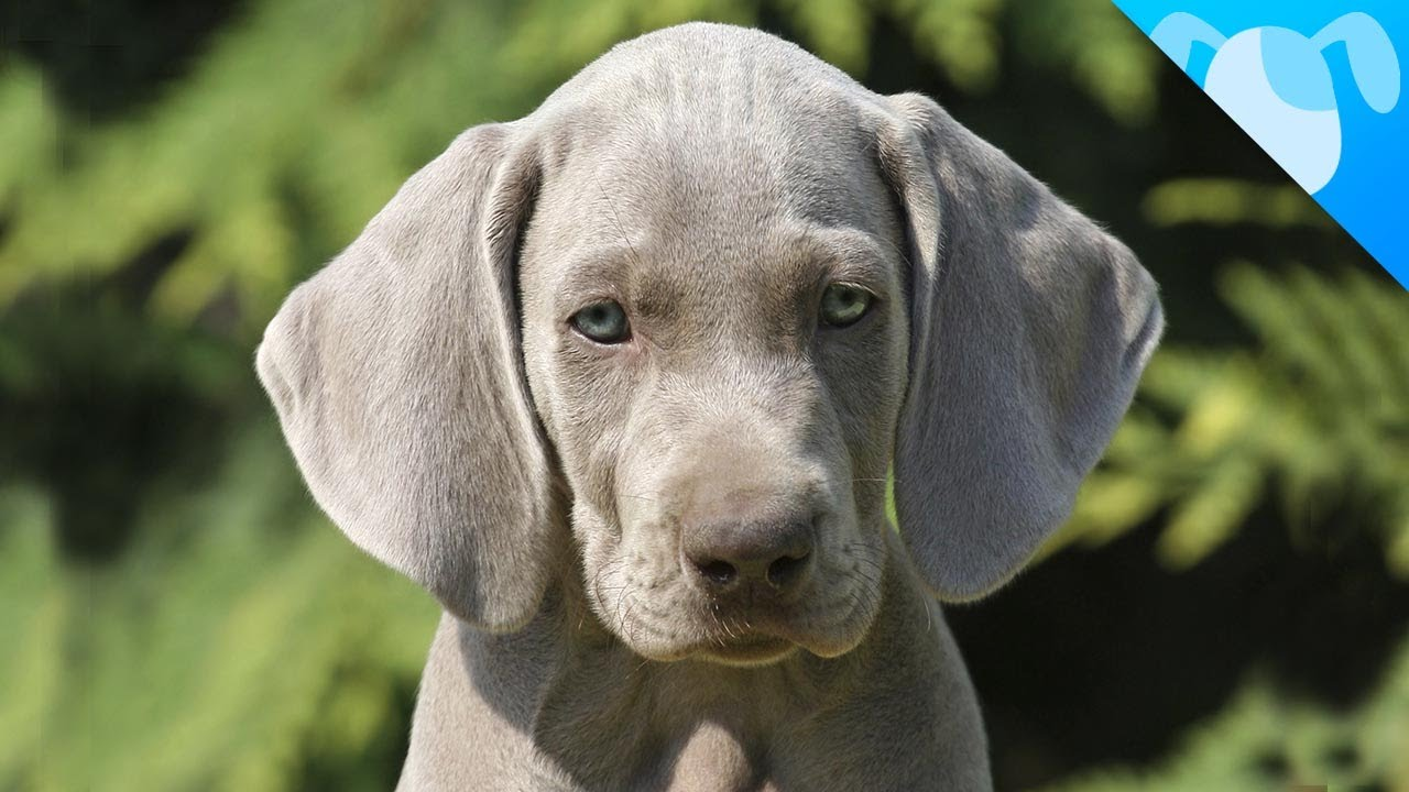 What Are Weimaraner Dogs Like