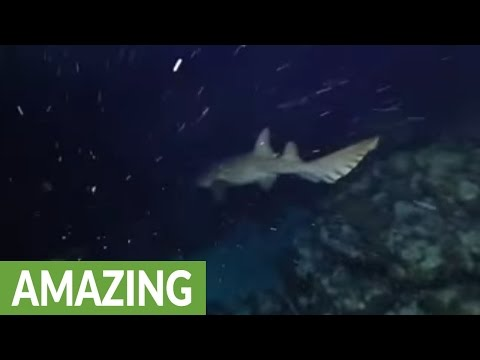 Shark appears from the darkness to sniff diver's camera