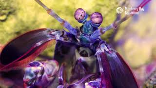 Stare Into The Eyes Of A Mantis Shrimp!