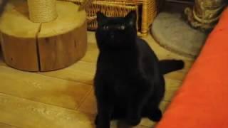 Британский черный кот 5 месяцев