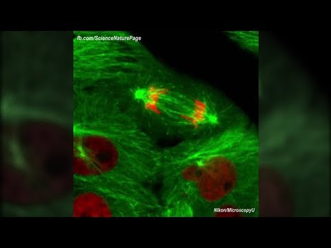 Actual Footage of Cell Division (Kidney Cells)