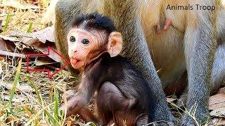 Why newborn monkey put his tongue out, Really cute newborn monkey