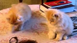 Персидские  котята играют. Приколы.