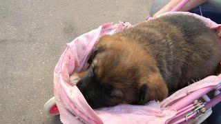 Мой питомец щенок Дымок) кто любит собачек ставим класс)