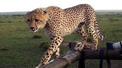 Cheetah Fail: Big Cat Falls Through Safari Jeep Roof