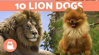 10 DOGS That Look Like LIONS  Leonine Dog Breeds
