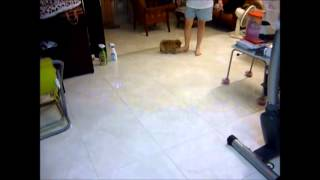 Puppy Pomeranian Nipping Foot