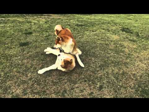 Akita Inu (秋田犬) Dog and Puppy Playing and Socialization