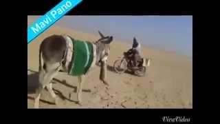 Crazy Donkey vs Fox - Çılgın Eşşek Tilkiyi Böyle Öldürdü | Mavi Pano