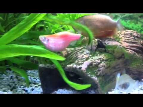 My pregnant fish youtube for Pregnancy and fish