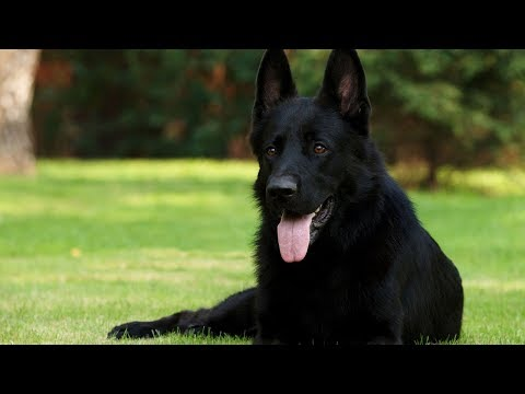 8 Things You Didnt Know About Black German Shepherd