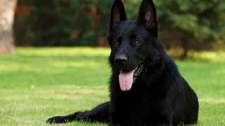 8 Things You Didn't Know About Black German Shepherd
