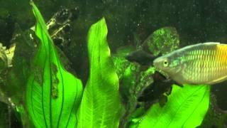 видео Боция клоун: размножение, содержание и описание породы (фото)