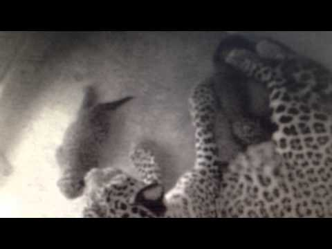 Birth of Persian Leopard Cubs Proves Success of the Sochi 2014 Environmental Program