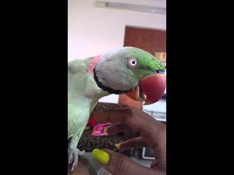 Talking parrot.