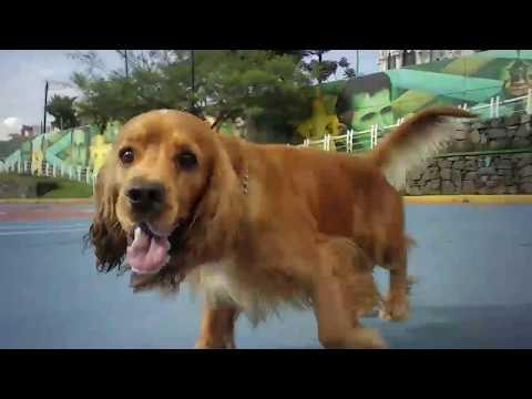 English cocker spaniel dog chasing drone