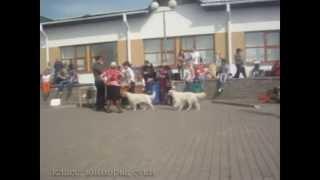 Республиканская выставка собак всех пород.Могилев.27.04.2013г.