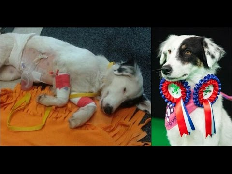 From DEATH to CHAMPION - the stray dog who beat all odds - Crufts 2017