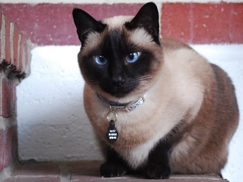 Siamese Cat Breed | Siamese, One of the Iconic Oriental Cat Breeds to Have