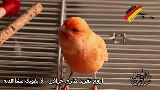 اجمل تغريد كناري الماني خرافي