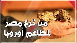 من ترع مصر لمطاعم أوروبا   الضفادع أغلى من اللحمة وكيلو المشفى بـ 500 جنيه