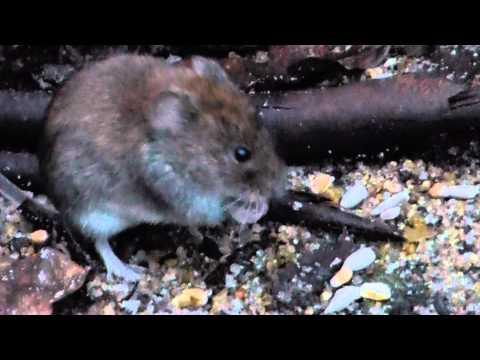 Robin  - at war with a mouse - Glóbrystingur - Mús - Dýralíf - Fuglar - Nagdýr